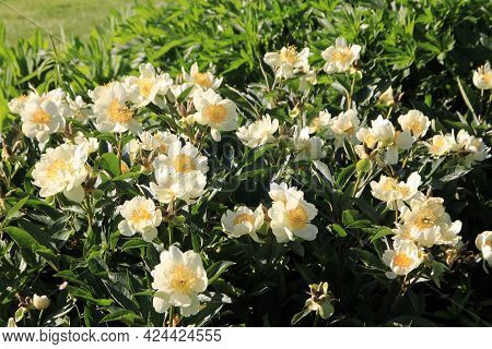 White Blooming Pions On The Flower Bed As A Floral Background