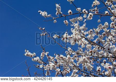Cherry Blossom Branch In The Park On A Sunny Spring Day On Blue Sky Background. Selective Soft Focus