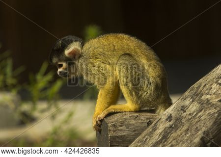 The Black-capped Squirrel Monkey (saimiri Boliviensis) In Zoo.