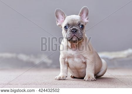 Small Lilac Fawn Colored French Bulldog Dog Puppy With Large Funny Blue Eyes Sitting In Front Of Gra