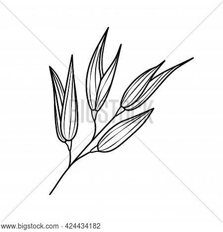 Oat Ear Sketch Icon. Oatmeal With An Engraving. High-yield Grain, Ears Of Corn. Oatmeal Is A Healthy