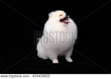 Pomeranian Dog, Isolated On A Black Background, Shows Off A Pedigree Haircut