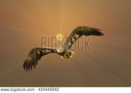European Bald Eagle Flies In Front Of The Sun In A Golden Sky. Flying Bird Of Prey During A Hunt. Ou