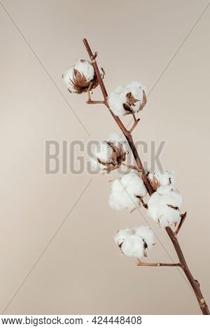 Dried natural cotton branch isolated on beige background
