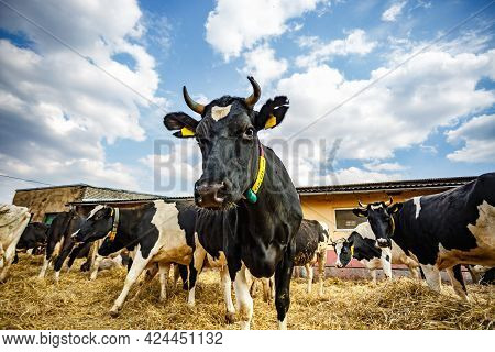 Breeding Cows In Free Animal Husbandry. Cowshed. Livestock Cow Farm. Herd Of Black White Cows Are Lo