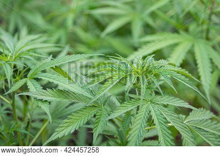 Close-up Of Cannabis Plant Growing At Outdoor Marijuana Farm. Texture Of Marijuana Leaves. Concept O