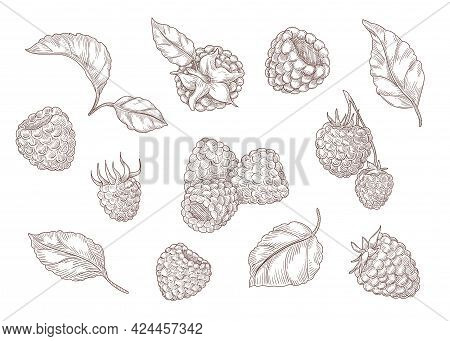 Set Of Engraving Monochrome Drawings Of Raspberry. Flat Vector Berry Illustration. Collection Of Vin