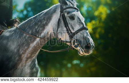 Portrait Of A Beautiful Dappled Gray Horse With A Bridle On Its Muzzle And A Rider In The Saddle, Wh