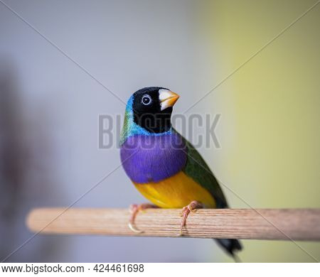 Gouldian Finch Series. Green, With A Black Head And Purple Breasts, Male. Landed On A Stick. Close P