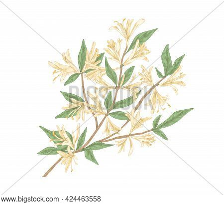 Blooming Honeysuckle Branch With Blossomed Flowers And Leaves. Realistic Botanical Drawing Of Garden