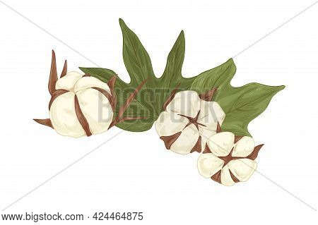 Soft Cotton Flower Buds And Leaf. Vintage Botanical Drawing Of Dry Fluffy Coton Bolls And Leaves. Ha