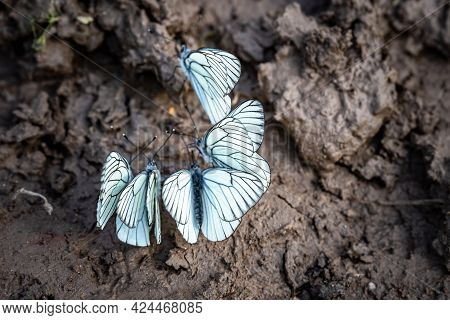 White Butterfly Drinking On Wet Ground