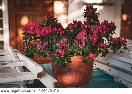Amazing Blooming Azalea Plant Outdoors On Background Of Wooden Windows In The Garden. Spring Mood In