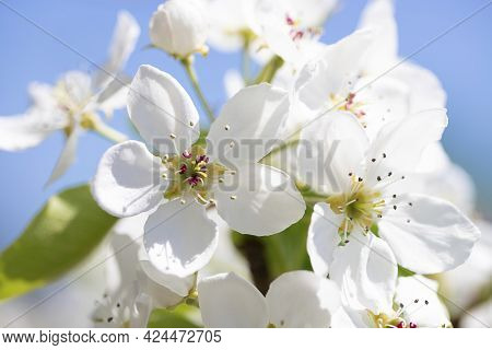 A Branch Of A Blooming Apple Tree In The Park On A Sunny Spring Day On Blue Sky Background. Selectiv