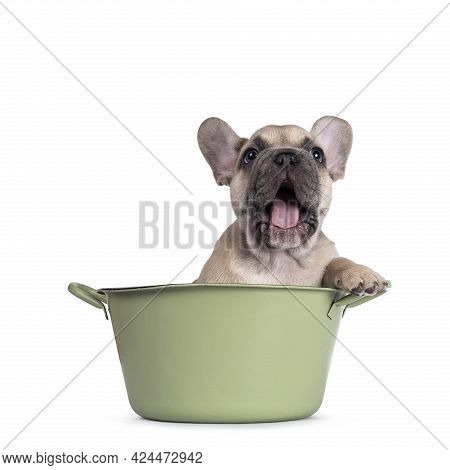 Adorable Fawn French Bulldog Puppy, Sitting In Green Bucket. Yawning, Mouth Wide Open. Isolated On A