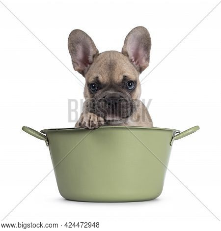 Adorable Fawn French Bulldog Puppy, Sitting In Green Bucket. Looking Naughty Over Edge. Isolated On