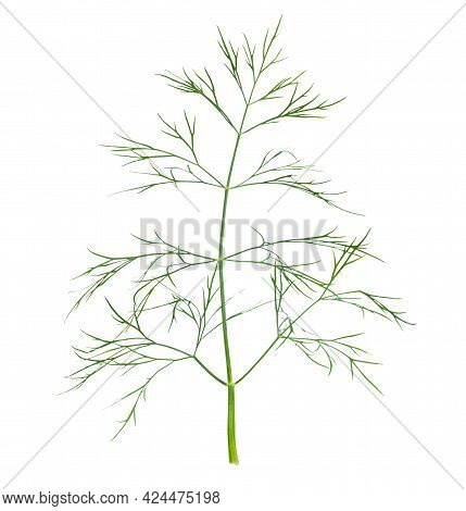 Large Sprig Of Green Fresh Dill Isolated On White Background.