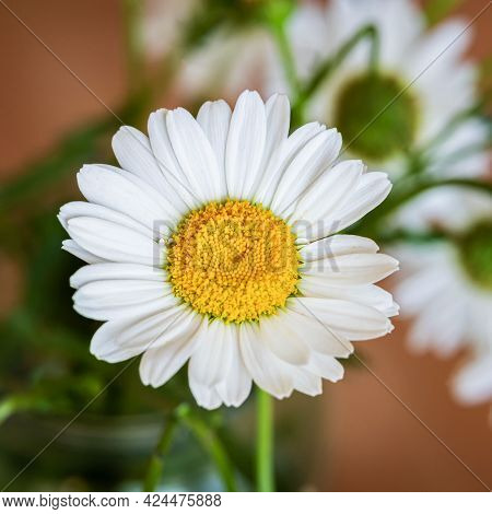 Chamomile Flower With Close-up On Natural Colorful Background