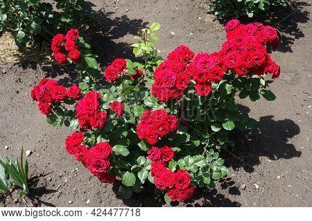 Florescence Of Red Rose Bush In June