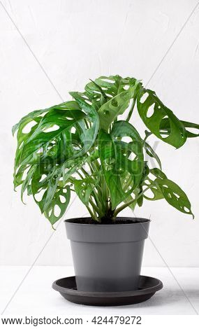 Monstera Monkey Mask Houseplant In The Gray Pot Against The White Background
