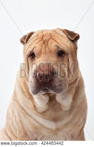 Shar Pei On White Background. Close-up Portrait Of A Dog
