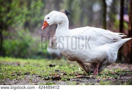 Goose walking on grass on farm