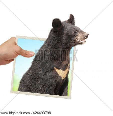 Human hand holds a photograph with curious Asiatic black bear looking out of from photography. Opportunities, nature and ecology concepts. Isolated on white background