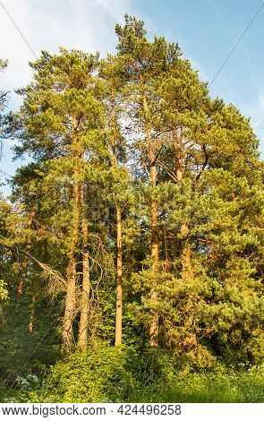 View Of Beautiful Pine Trees In The Rays Of The Setting Sun In Summer. Flora Landscape Nature Plants