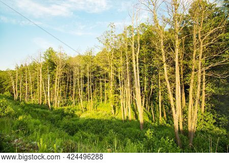 View Of Beautiful Pine Trees And Deciduous Trees In The Rays Of The Setting Sun In Summer. Flora Lan