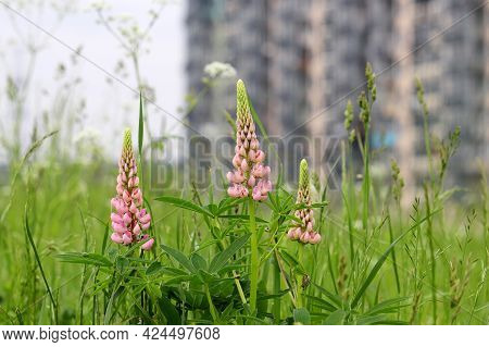 View To The Residential Buildings Through The Grass And Pink Flowers Of Lupin. Concept Of Ecology In
