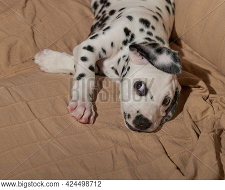 A Cute And Naughty Dalmatian Puppy Playing On An Armchair