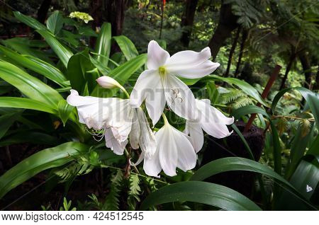 White flowers of Amaryllis also called Belladonna Lily growing in Tropical garden in Funchal, Madeira island.