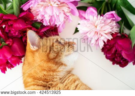 Adorable funny ginger tabby cat smells the scent of blooming peonies flowers.
