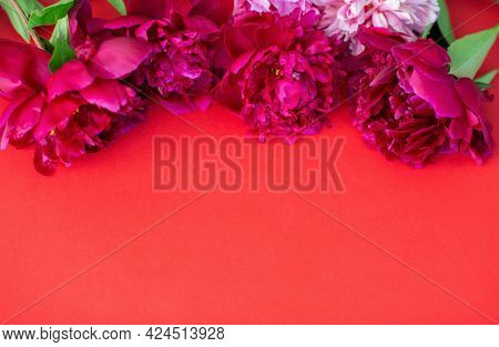 Peonies on red background with copy space for your message. Seasonal flowers natural card, wallpaper or poster