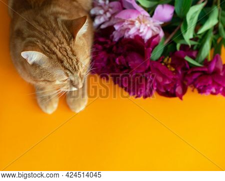 Adorable funny ginger tabby cat lies near the bouquet of blooming peonies flowers. Summer postcard, poster or wallpaper