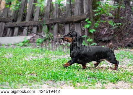 Adorable Small Dachshund Puppy On Long Leash Walks Along Meadow Green Grass Past Old Wooden Fence In