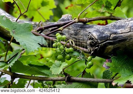 Vine Of A White Grape (vitis) On An Old Gnarled Wooden Vine, Fruit In Early Summer, Bavaria, Germany