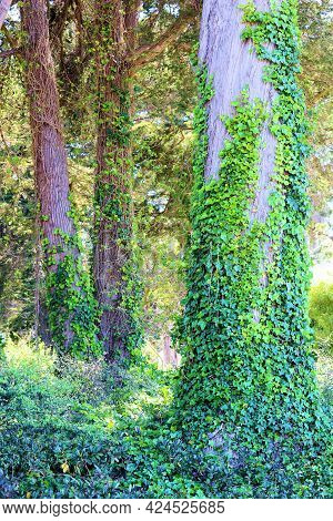 Lush Vines Covering A Meadow And The Bark On Trees Taken At A Temperate Forest In The Northern Calif
