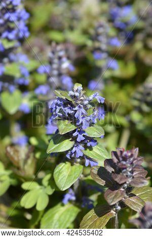 Bugle Multicolor Flowers - Latin Name - Ajuga Reptans Multicolor