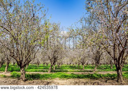 Magnificent almond blossom garden. Almond trees are covered with beautiful white and pink flowers. Early spring in Israel. February