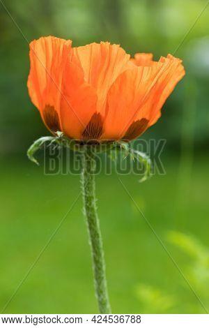Blossom of Oriental poppy flower or Papaver orientale