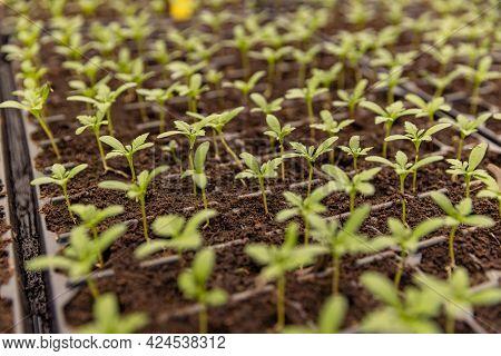 Young Plants Growing In Nursery. Plant Seedlings Growing In Pots