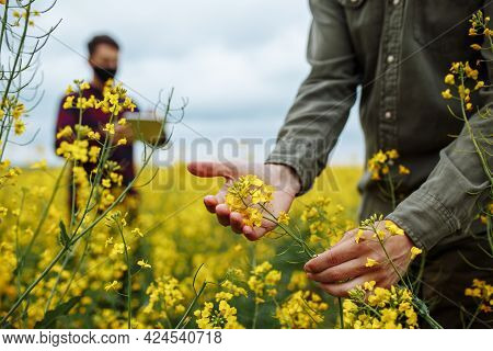 A Farmer Checks The Flowering Rapeseed Plants, An Agronomist In The Background With A Tablet Enters