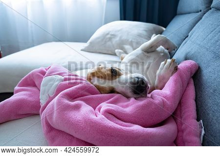 Beagle Dog Taking A Nap On Sofa On Pink Baby Blanket.