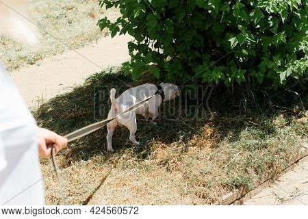 Dog For A Walk. Jack Russell Terrier Sniffing Bushes Outdoors. Owner Holding Her Pet On A Leash, Cro