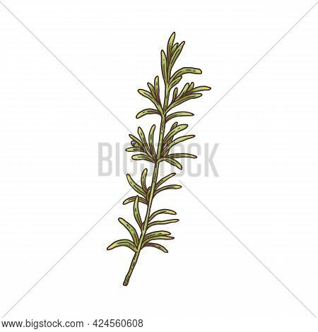 Fresh Rosemary Sprig With Green Leaves Engraving Vector Illustration Isolated.