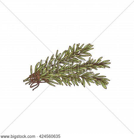 Fresh Rosemary Sprigs Colored Engraving Style Vector Illustration Isolated.