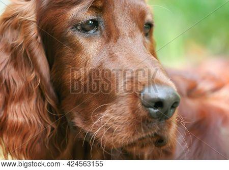 Close-up Face Head Portrait Of A Cute Beautiful Irish Setter Pet Dog Puppy