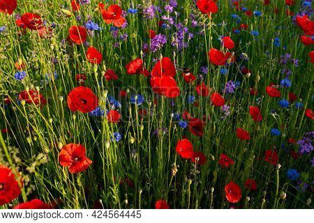 Luminous Red Poppy In A Flower Meadow. Natur Background.