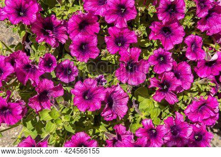 Close-up Of A Pink Petunia Plant, Petunia Violacea Lindl. Mediterranean Floral Background Image